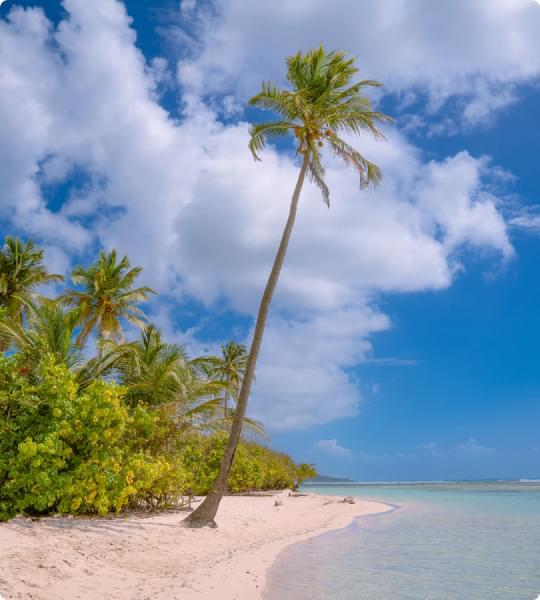palmier sur la plage à Sainte Anne