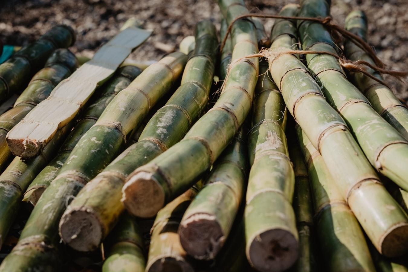 récolte de canne à sucre en guadeloupe
